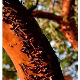 Küünla aroomiõli 30ml Sandlipuu